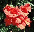 Campsis grandiflora (2826351065).jpg