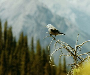 Clark's nutcracker - Clark's nutcracker on Sulphur Mountain, Banff National Park, Alberta