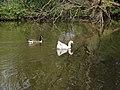 Canada Goose and escaped farm goose, Lower Lake, Birkenhead Park.jpg
