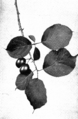 Canada Plum fruiting spray Keeler.png