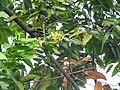Cananga odorata-1-papanasam-tirunelveli-India.jpg