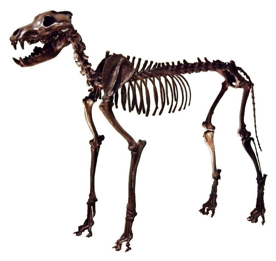Canis dirus Skeleton 2