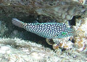 Description de l'image Canthigaster_jactator_by_NPS.jpg.