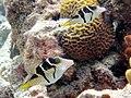 Canthigaster valentini Maldives.JPG