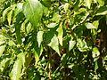 Capsicum frutescens 'Piri-piri' (6674322781).jpg