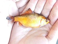 Los Goldfish 200px-Carassus_carassus_gold