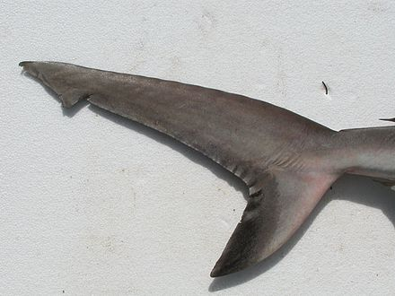 Sharks possess a heterocercal caudal fin. The dorsal portion is usually larger than the ventral portion Carcharhinus amblyrhynchos JNC1111 Tail.JPG