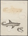 Carcharias glaucus - 1700-1880 - Print - Iconographia Zoologica - Special Collections University of Amsterdam - UBA01 IZ14100027.tif