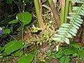 Cardamom pods on plant .jpg