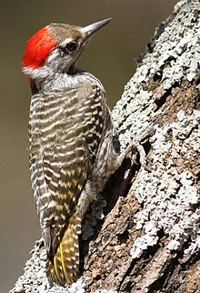 Cardinal Woodpecker - MALE, Dendropicos fuscescens at Pilanesberg National Park, Northwest Province, South Africa (14905279159).jpg