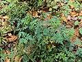 Cardiospermum halicacabum 11.JPG