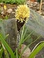 Carex acutiformis inflorescens (53).jpg