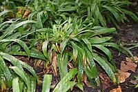 Carex plantaginea kz1.jpg