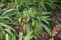 Carex plantaginea kz1.jpg