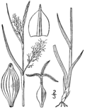 Carex tetanica drawing 1.png