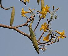 Caribbean Trumpet Tree (Tabebuia aurea) fruit & flowers W IMG 7055.jpg