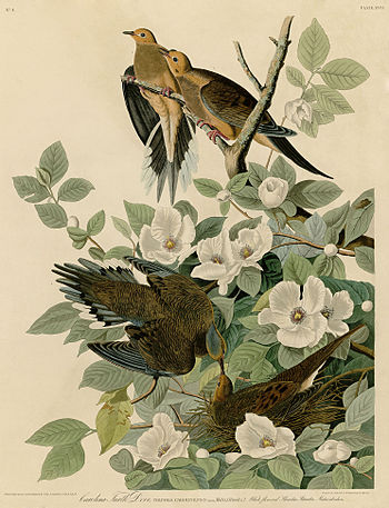 Carolina Turtle Dove (Audubon).jpg