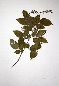 Carpinus caroliniana ssp. virginiana BW-1980-0602-0001.jpg