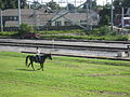 Carrollton Riverbend Levee Aug 2009 Horse Rider.JPG