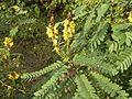 Cassia alata AJT Johnsingh.jpg