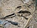 Cassowary footprint (48754316438).jpg