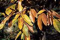 Castanea mollissima autumn.jpg