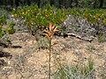 Castilleja linariifolia.jpg