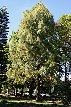 Casuarina May 2014-1.jpg