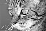 Cat (24435093605).jpg