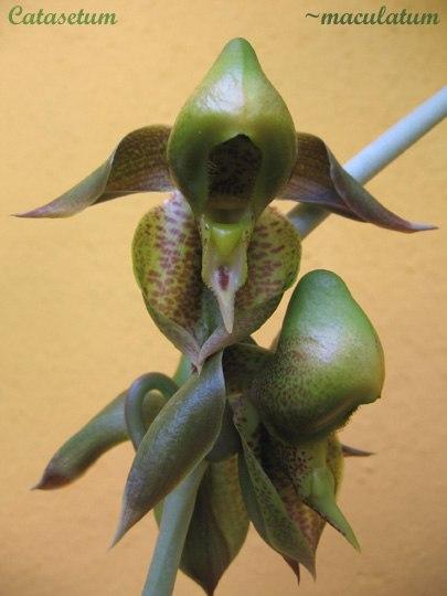 Catasetum maculatum 1