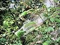 """Caterpillar """"tent"""" - geograph.org.uk - 1932081.jpg"""