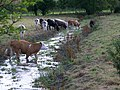 Cattle by the River Ebble - geograph.org.uk - 903574.jpg