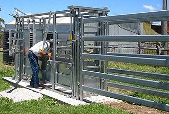 Livestock crush - A cattle crush and an anti-bruise race in Australia.