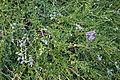 Ceanothus thyrsiflorus - Regional Parks Botanic Garden, Berkeley, CA - DSC04498.JPG