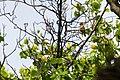 Cedar waxwing (33191432223).jpg