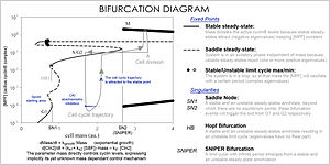 Mathematical and theoretical biology - Image: Cell cycle bifurcation diagram