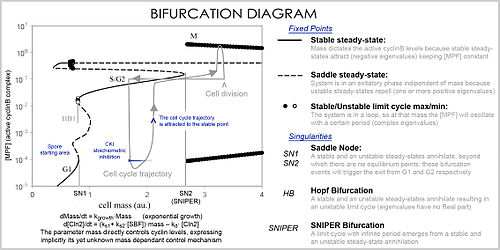 Mathematical And Theoretical Biology  Wikipedia Cell Cycle Bifurcation Diagramjpg