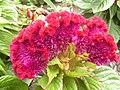 Celosia argentea cristata 1.jpg