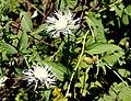 Centaurea jacea alba White Knapweed მინდვრის ღიღილო.JPG