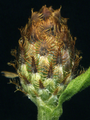 Centaurea stoebe ssp micranthos EP4490-02.png