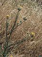 Centaurea verutum.jpg