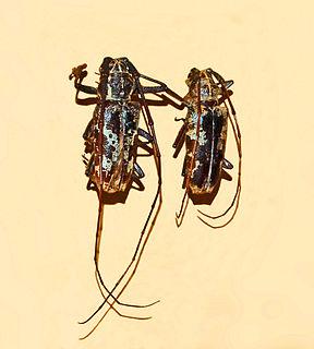 <i>Epepeotes</i> Genus of beetles