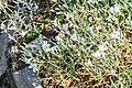 Cerastium tomentosum in Lozere (2).jpg