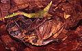Ceratophrys cornuta01a.jpg