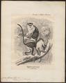 Cercopithecus diana - 1700-1880 - Print - Iconographia Zoologica - Special Collections University of Amsterdam - UBA01 IZ19900107.tif