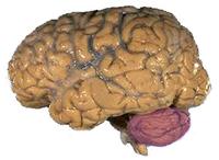 200px-Cerebellum_NIH.png