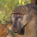 Chacma baboon (Papio ursinus griseipes) female head.jpg