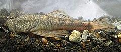 240px chaetostoma leucomelas (16519764731)