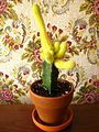 Chamaecereus silvestrii forma aurea. Grafted cactus..JPG