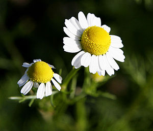 English: Chamomile Flowers For more translatio...